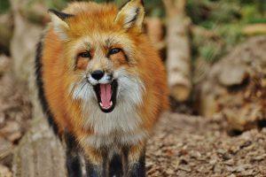 Fuchs Wilder Fuchs Fuchs bellt